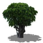 2D banyan tree with rounded base and horizontal sh...