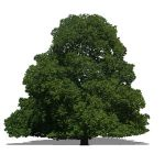 2D Face Me oak tree. Photoreal and NPR
