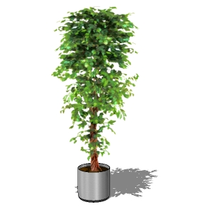 View Larger Image of Potted Ficus