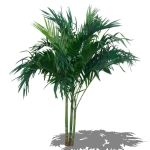 Large Areca palm