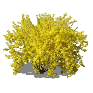 View Larger Image of Large Forsythia