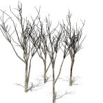 Four bare trees between 20-25ft/7-8metres.