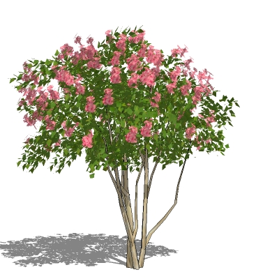 Medium height Crape myrtle (Lagerstroemia indica).....