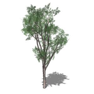 Eucalyptus 3D Model - FormFonts 3D Models & Textures