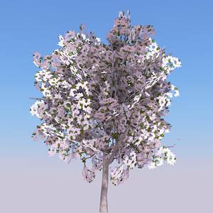 Cherry tree 3D Model - FormFonts 3D Models & Textures