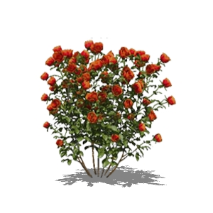 View Larger Image of Red rose bushes