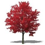 'October Glory' Red Maple (Acer rubrum 'October Gl...