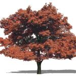 Japanese Maple (Acer palmatum). SketchUp Face Me c...