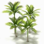 King Palm (Archontophoenix cunninghamiana) 4 speci...
