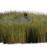 Small patch of Smooth Cordgrass (Spartina alternif...
