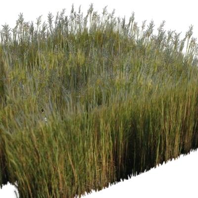Giant Cordgrass 3D Model - FormFonts 3D Models & Textures
