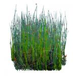 Three-Square bulrush or Clb rush (Schoenoplectus p...