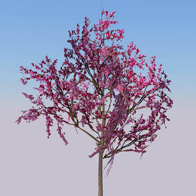 Eastern Redbud 3d Model Formfonts 3d Models Amp Textures