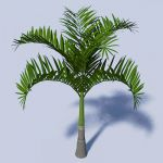 Adonida or Christmas palm (Adonidia 