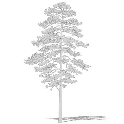 cad style red pine tree_CAD_redpine