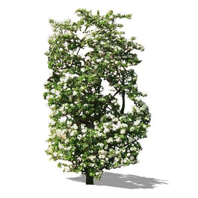 hawthorn 01 3D Model - FormFonts 3D Models & Textures