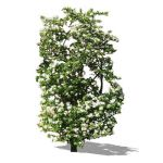 Hawthorn bush; approx 10' / 3 m high. Sketchup V5 ...