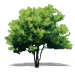 NPR version of Amur Maple (Acer ginnala) approx 15...
