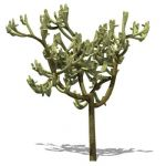 Jumping Cholla; also known as Teddybear Cholla, Si...
