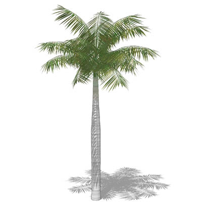 Royal Palm (Roystonea regia) approx 40' / 12 m hig....