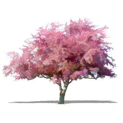 NPR deciduous tree (ornamental cherry type). Appro....