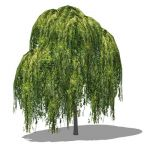 Medium poly Weeping Willow (Salix babylonica); app...