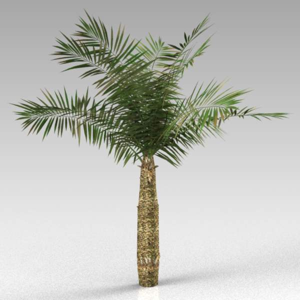 A small palm, approximately 4m (14 ft) tall.