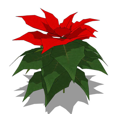Small Poinsettia plant.