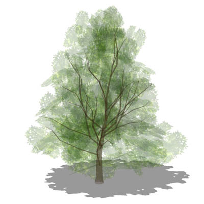 Mature 50ft/15m low-poly chestnut tree; semi trans....