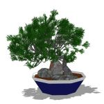 Dwarf Juniper in both bonsai and normal sized vers...