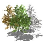 View Larger Image of FF_Model_ID4692_silverbirch_6m_seasons.jpg