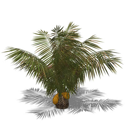 Small Date Palm.