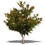 View Larger Image of FF_Model_ID4788_photinia_NPR.jpg