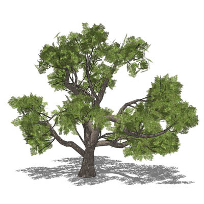 Live Oak 3d Model Formfonts 3d Models Amp Textures