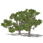 Southern Live Oak (Quercus virginiana); two models...