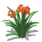 Clivia Miniata/Bush Lily; approx 2ft / 60 cms high