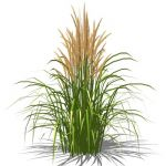 Karl Foerster Feather grass. Ornamental grass, app...