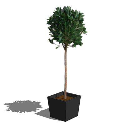 2.5D Bay ball. Plant height approximately 4ft/1.3m.