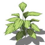 "Aglaonema pictum; approx 22""/56cm high; 3 con..."