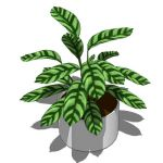 Zebra plant (Calathea zebrina) in two leaf pattern...