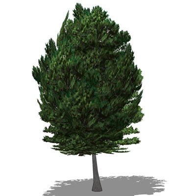 Aleppo Pine; Low Poly; approx 30ft high.