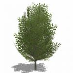 Generic deciduous tree in Summer foliage with semi...
