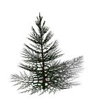 Of the Abies Pinaceae clan; 23 1/2 ft. high x 18 1...