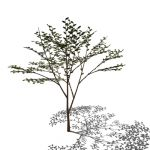 A deciduous tree; 30-35 ft. tall and as broad in s...