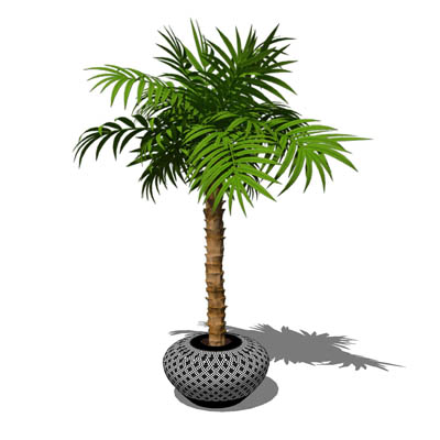 Small, potted majesty palm (Ravenea rivularis). Th....